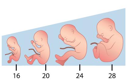 second trimester pregnancy